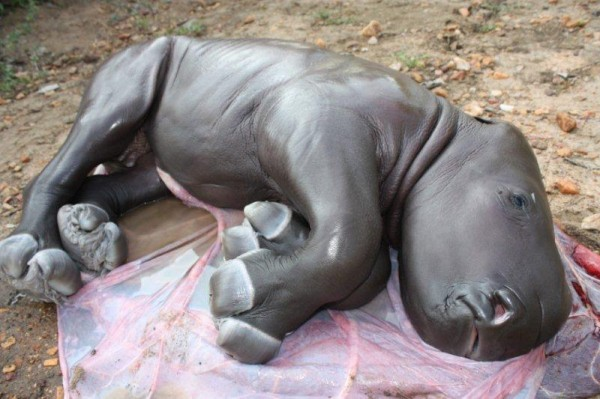 rhino foetus