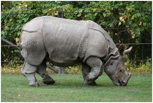 rhino javan