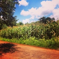 Random corn fields.